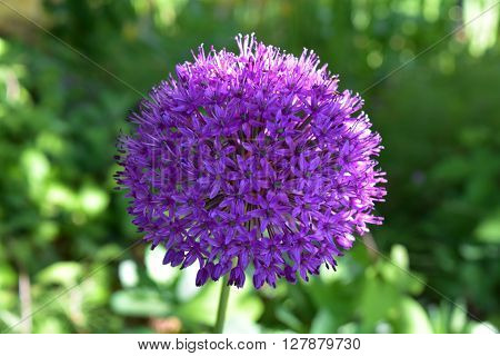 Giant purple Allium flower in a garden