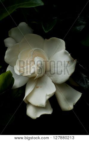 White Rose - symbolizes fidelity and probity
