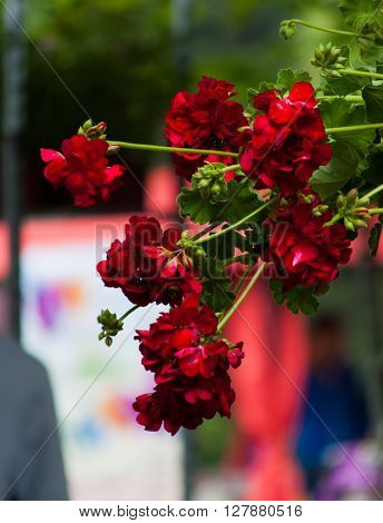 Beautiful red geranium flower in the garden