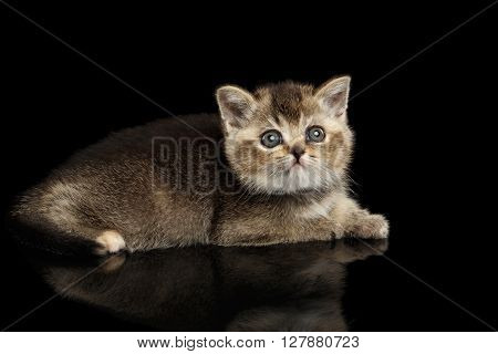 Scottish Straight Kitten Lying and Curious Looking up Isolated on Black Background