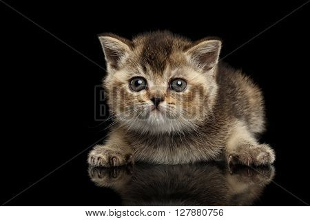 Scottish Straight Kitten Lying and Curious Looking Forward Isolated on Black Background