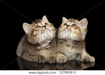 Two Scottish Straight Kittens Lying and Curious Looking up Isolated on Black Background