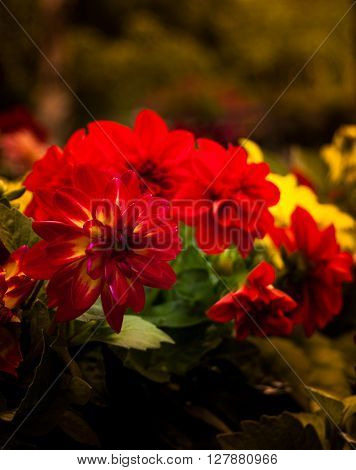 Dahlia flower in red and yellow, summer garden - expresses dignity and elegance