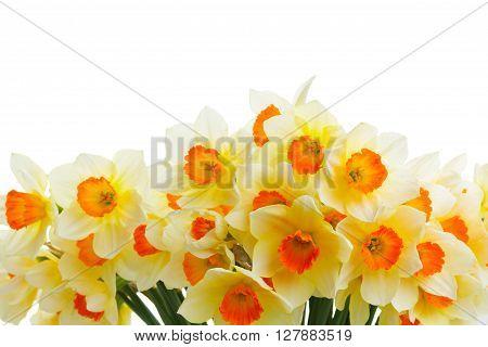 Fresh spring orange and  yellow daffodils border  isolated on white background