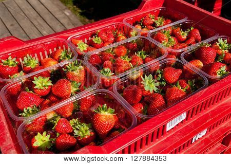 Tray of freshly picked strawberries in punnets on fruit farm