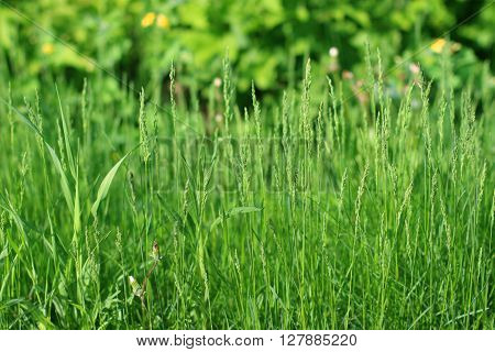 Bright fresh green grass in summer sunny park close up view