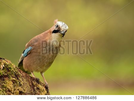 Jay (Garrulus glandarius) sitting on a crumbling and mossy tree trunk poland in early spring in may.Horizontal view.