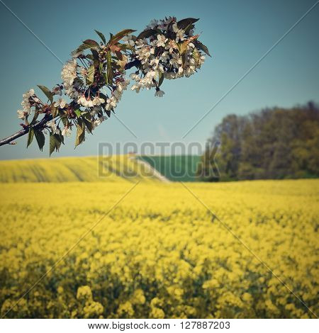 Beautiful Blooming Fruit Tree Branch. Yellow Flowering Fields, Ground Road And Beautiful Valley, Nat