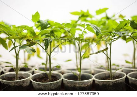 Green Seedlings Grown In A Row In Greenhouse