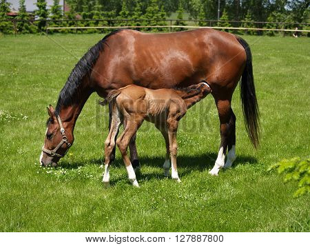 New born little foal with mare in the medow