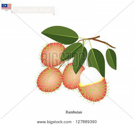 Malaysia Fruit Illustration of Ripe Rambutan. One of The Most Popular Fruits in Malaysia.