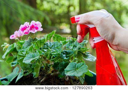 a woman gardening a geranium flower outdoor