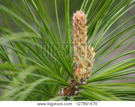 Young resinous escape of the Siberian cedar against bright green needles