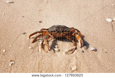Wet sea crab on the sand on a sunny summer day