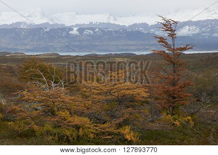 Brightly coloured autumn foliage on trees and shrubs in Patagonia, southern Chile.