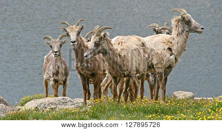 Rocky Mountain bighorn sheep at Summit Lake on Mount Evans, Colorado