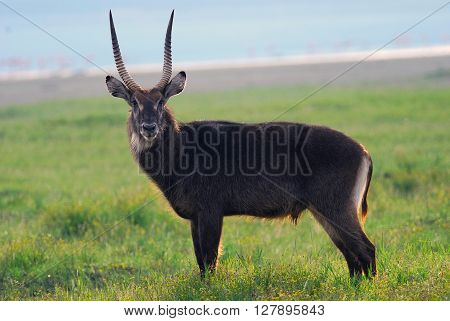 waterbuck standing in the grass near the lake shot in Kenya