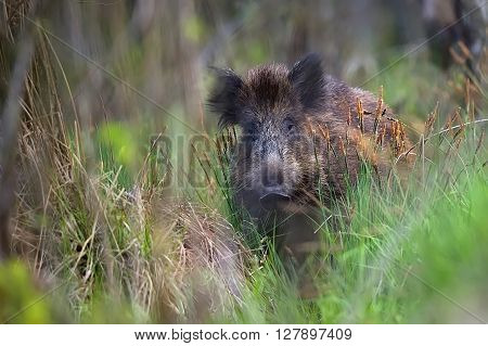 Wild boar in the forest in the wild