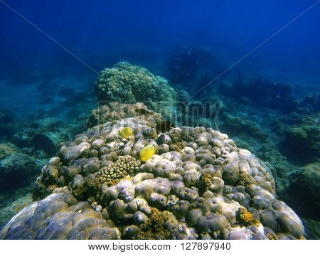 Coral reef with tropical fishes, coral fishes, reef fishes, coral reef life, sea life, sea animals, summer holiday activity, snorkeling in coral reef, ecosystem of coral reef, clean sea with fishes