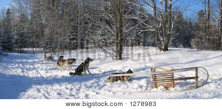 Dogs Having Some Rest - Dogsledding - Quebec - Panorama