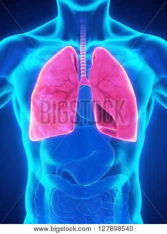 Human Respiratory System Illustration . 3D render
