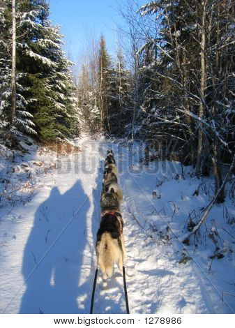 Dogsledding And Human Shadows - Quebec