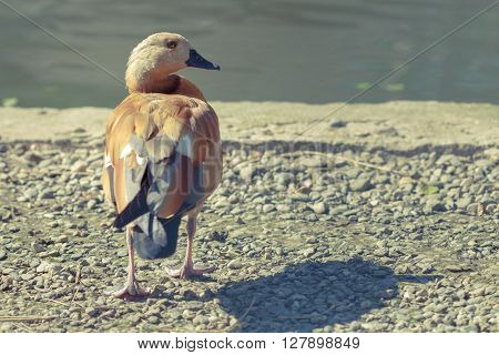 Single Brown Duck Looking Right
