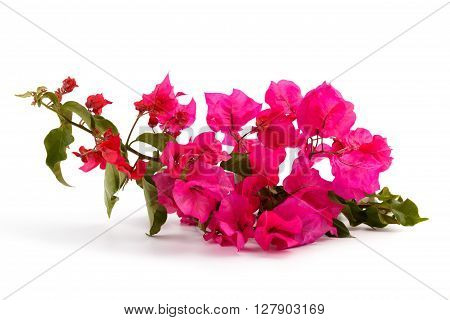 Pink Bougainvillea branch isolated on white background