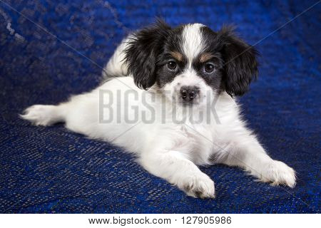 Cute puppy of the Continental Toy spanielo - Phalene -n a blue background