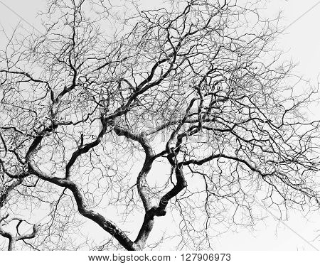 Leafless Twisted Branches Black Tree Silhouette
