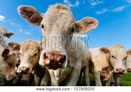 A group of charolais calves looking into camera.
