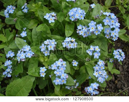 Numerous small blue flowers forget-me-not ('forget me not').