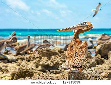 A wary pelican stands on the reef watching behind