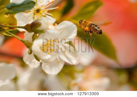 Bee In Spring Blossom