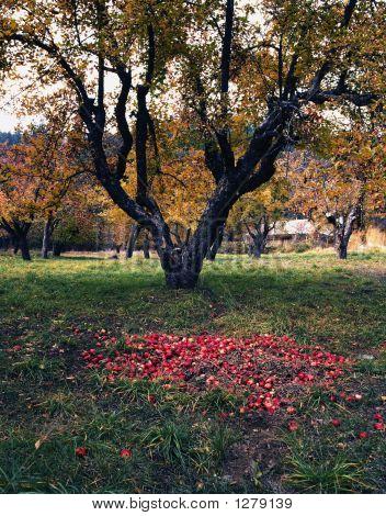 Apple Tree In Field With Fallen Apples