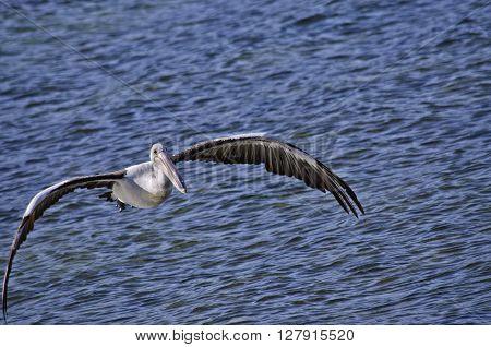 the Australian pelican is flying low over the ocean