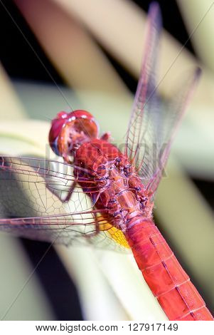 Red Dragonfly (back Detail)