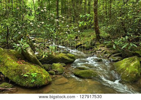 Blooming Rhododendron and water cascades with boulders covered in green moss. Smoky Mountains National Park.