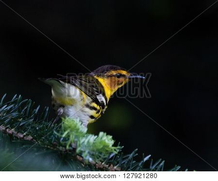 Cape May Warbler (Setophaga tigrina) in a spruce tree