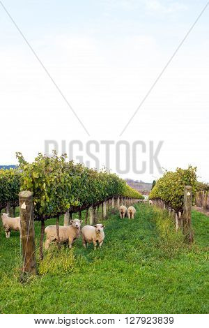 Sheep in Vineyard in Gisborne, New Zealand