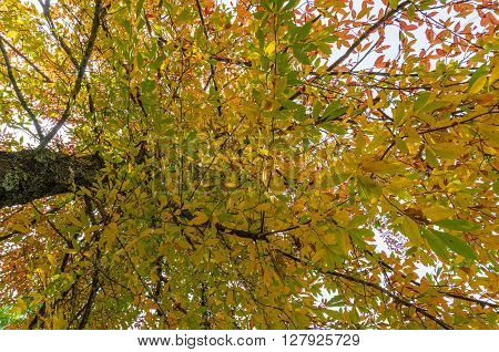 Autumn leaves texture. Yellow and green foliage of early fall season background wallpaper. Looking up the tree canopy