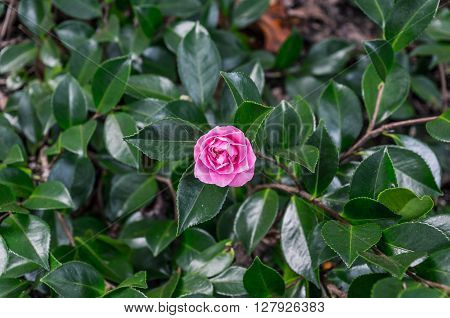 Camellia flower against green foliage background. Pink violet Japanese Camellia flower surrounded with glossy green leaves. Close up selective focus cross processed photo with space for text
