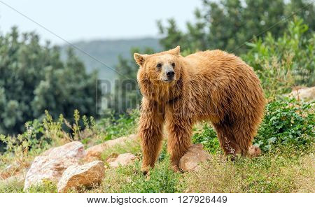 Eurasian brown bear (Ursus arctos arctos) in forest