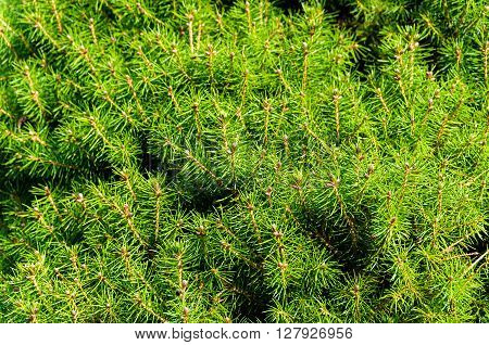 Bright and green pine tree needles close up texture on sunny day. Green nature background. Shallow DOF