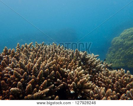 Underwater, Branching coral, staghorn coral in the blue background