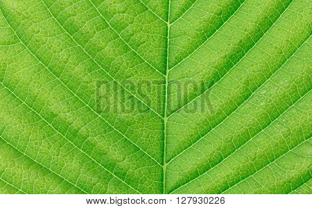 Macro green leaf texture. Green leaves background