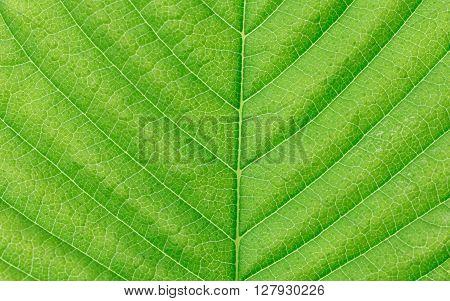 Macro green leaf texture. Green leaves background