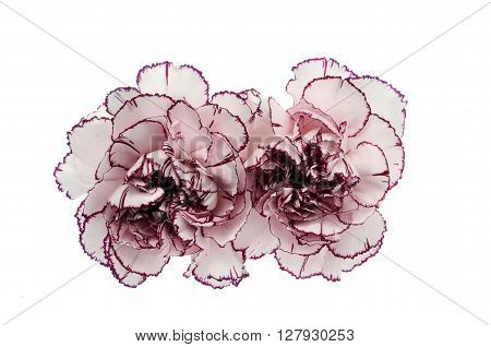 White And Pink Carnation Flower