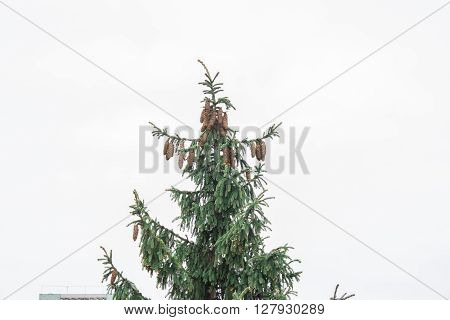 Shot of a fir peak full of pinecones