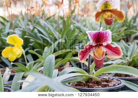 Lady's Slipper Orchid. (paphiopedilum) In Orchid Farm, Chiang Mai (thailand)